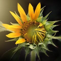 sunflower, nature, flora